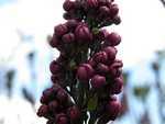 Lilac8
