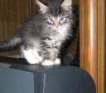 Little kitten on my center channel speaker!