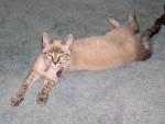 Our kitten Dori, ~6 months 2004.04.19