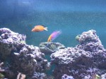 Mystery Wrasse, Chevron Tang