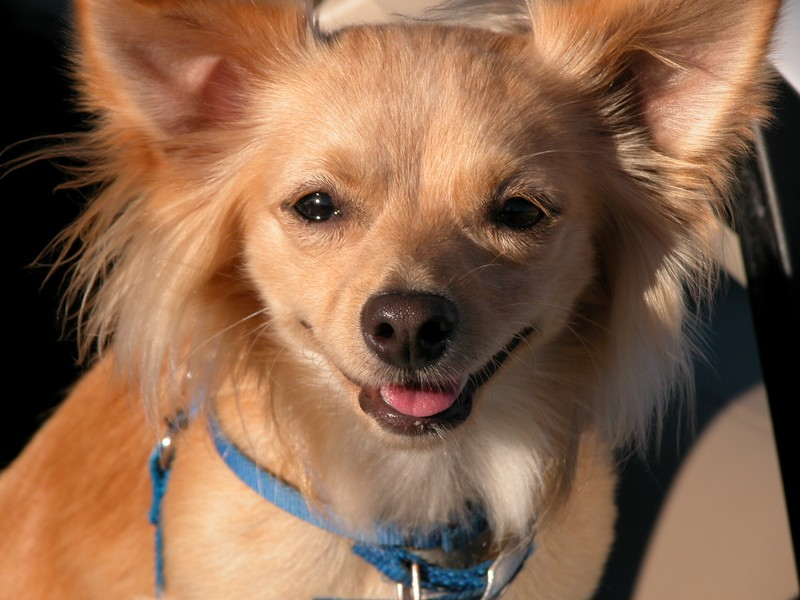 Long Haired Chihuahua Terrier Mix Long-hair chihuahua mix (got