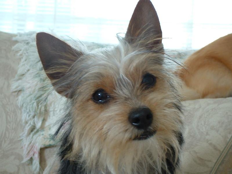 Dachshund Yorkie Mix http://m5x.eu/yorkie-poo-mixed-with-dachshund ...
