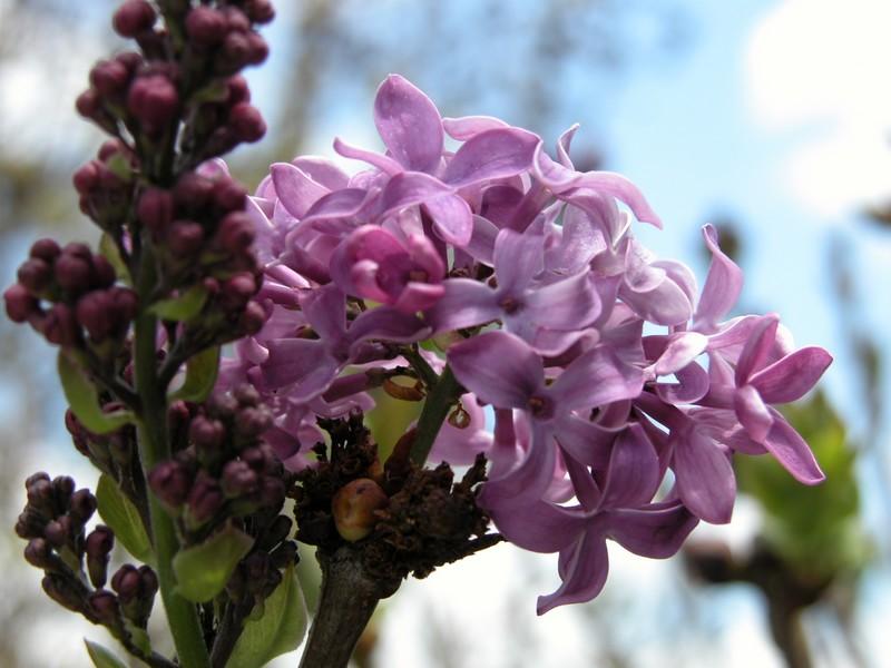 Lilac7