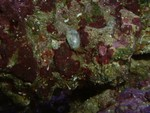 Stomatella sp. snail