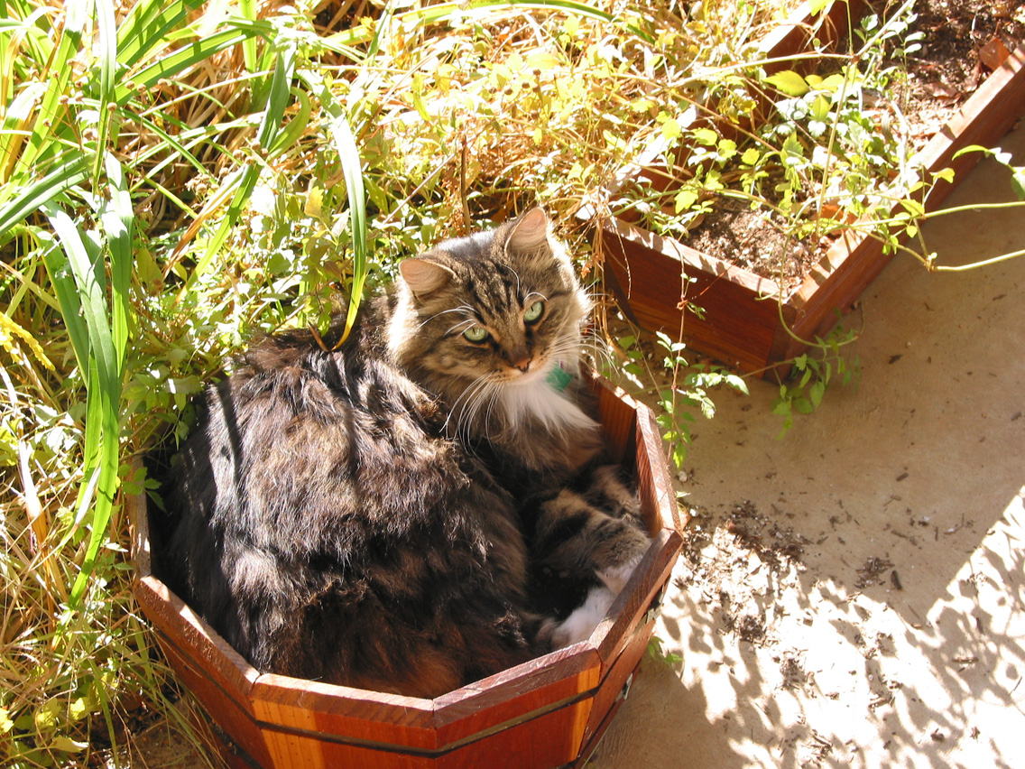 Big Kitty chillin in the planter pots that aren't growing anything anyways, !