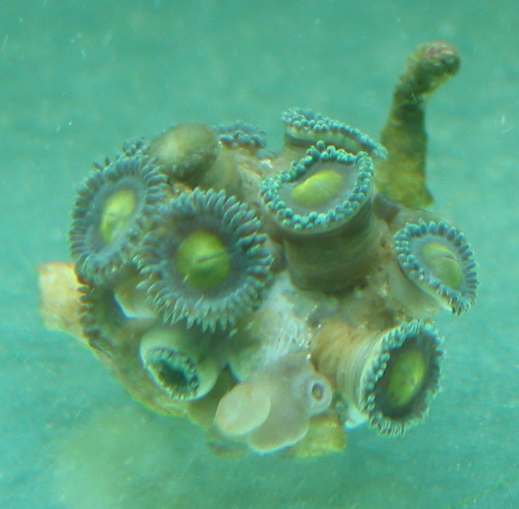 frag 2 of 2 that are not gonna make it. the fungus is in the middle and touching the edge polyps too. it's too late for these guys as well...