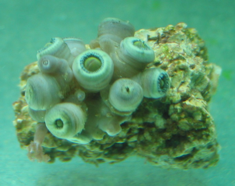 1 frag is not lookin so hot. no fungus, but the polyps don't look very strong and they are kinda mushy, not firm: