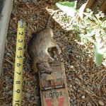 Ah Rats!2