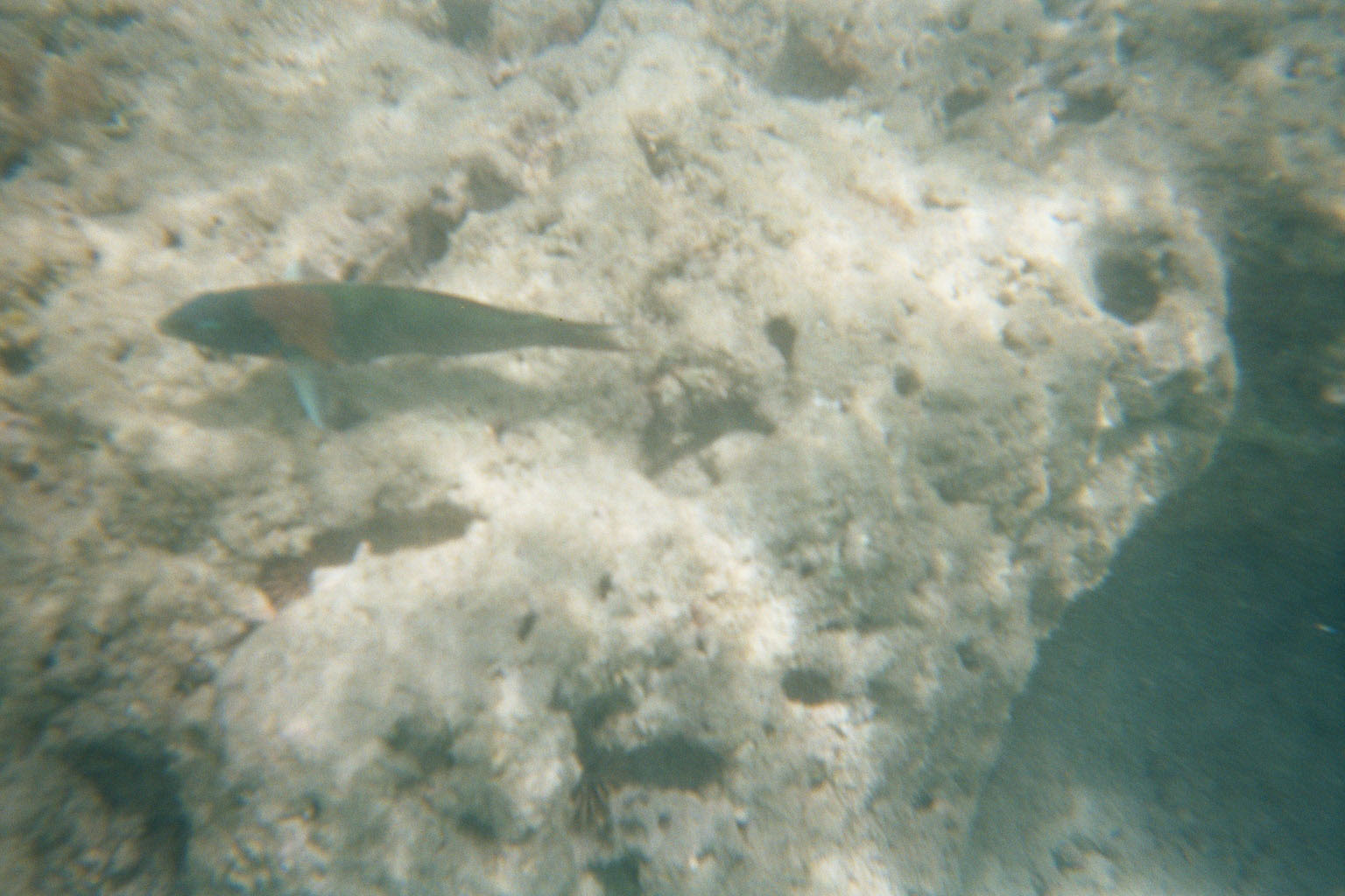 Some sort of wrasse maybe?