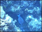 Atlantic blue tang.